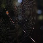 Spider in the net